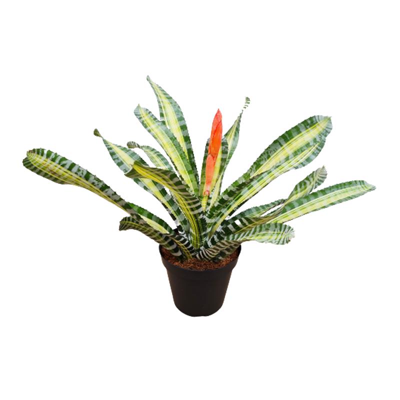 Bromélia Aechmea Chantini Variegata pote 14 cm