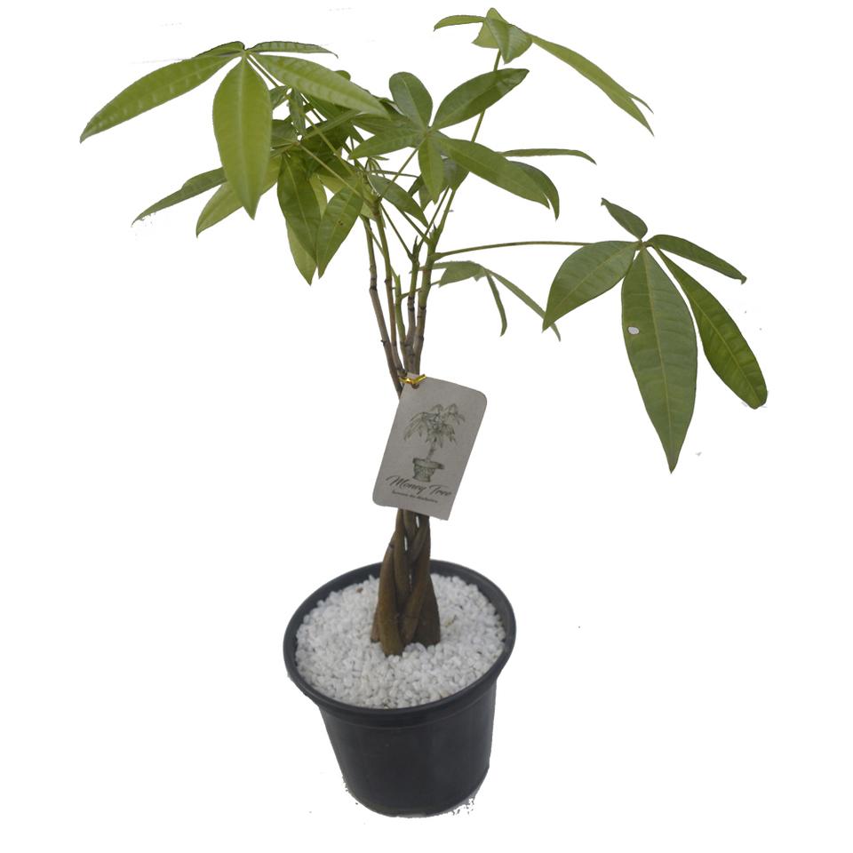 Money Tree - árvore do dinheiro - pote 17 cm
