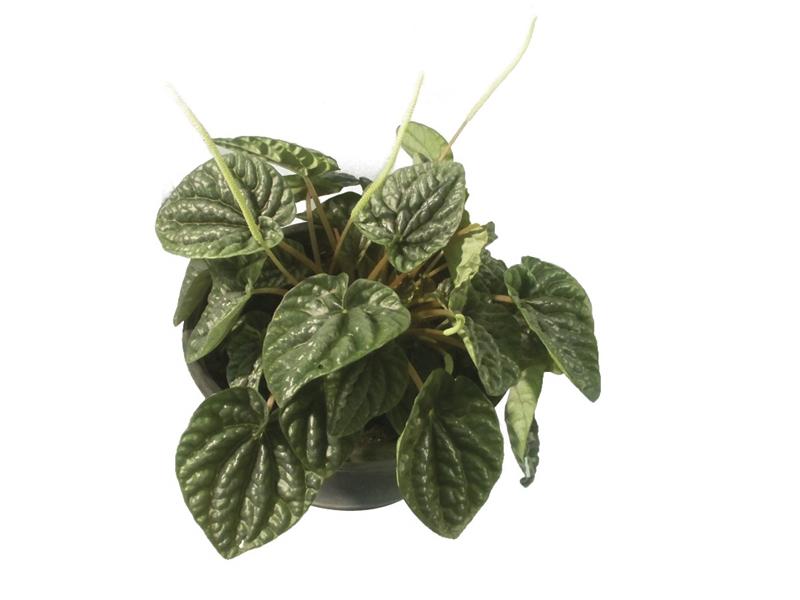 Peperômia Caperata Verde<br>pote 11cm