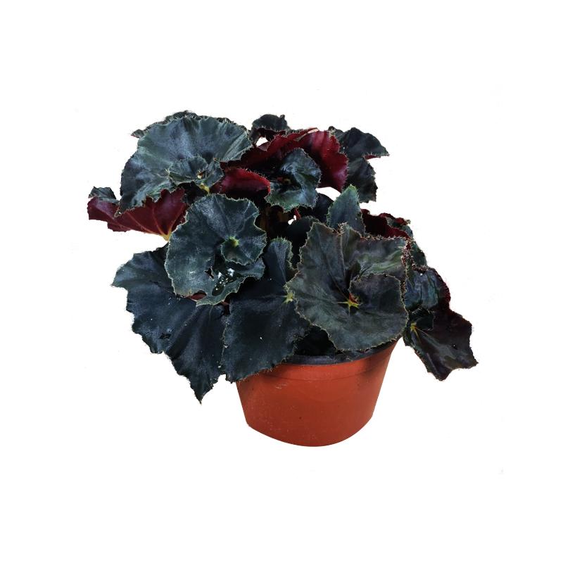 Begonia Dark Mambo pote 11 cm