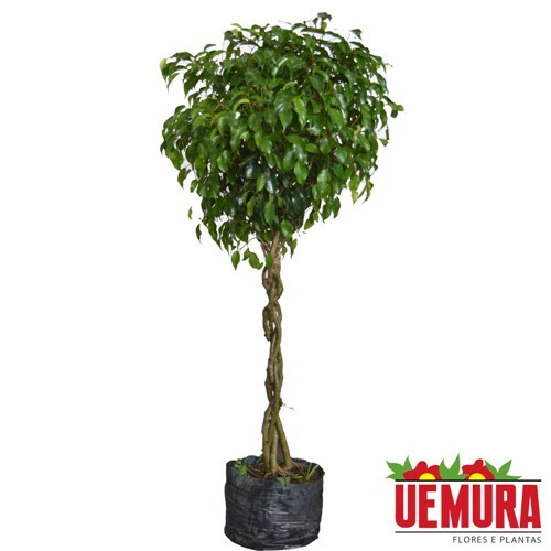 Ficus Trançado<br>pote 25 cm