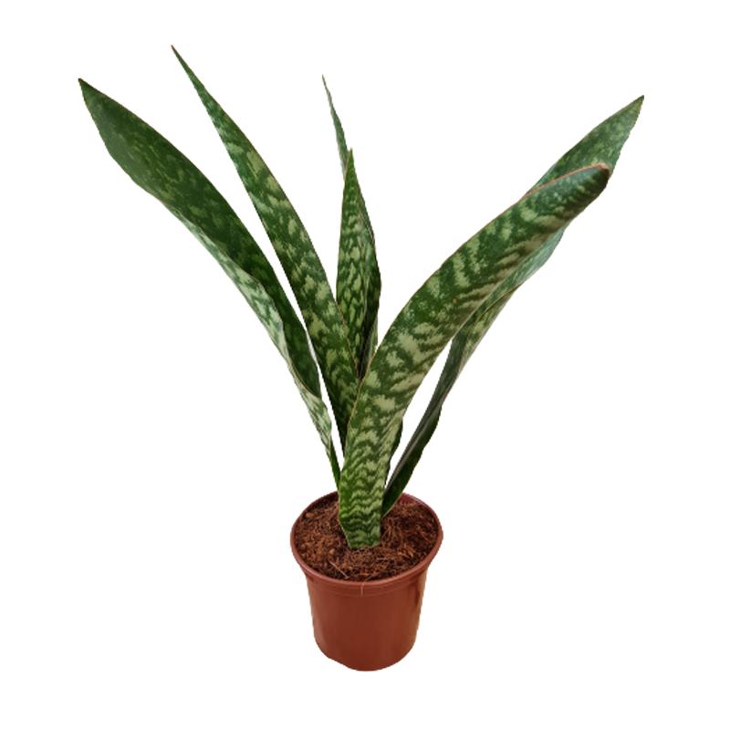 Sansevieria Jibóia pote 15 cm