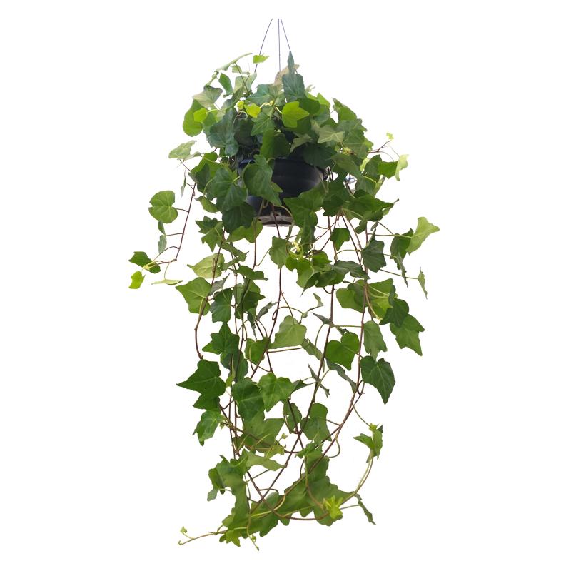 Hera verde pendente cuia 21 cm