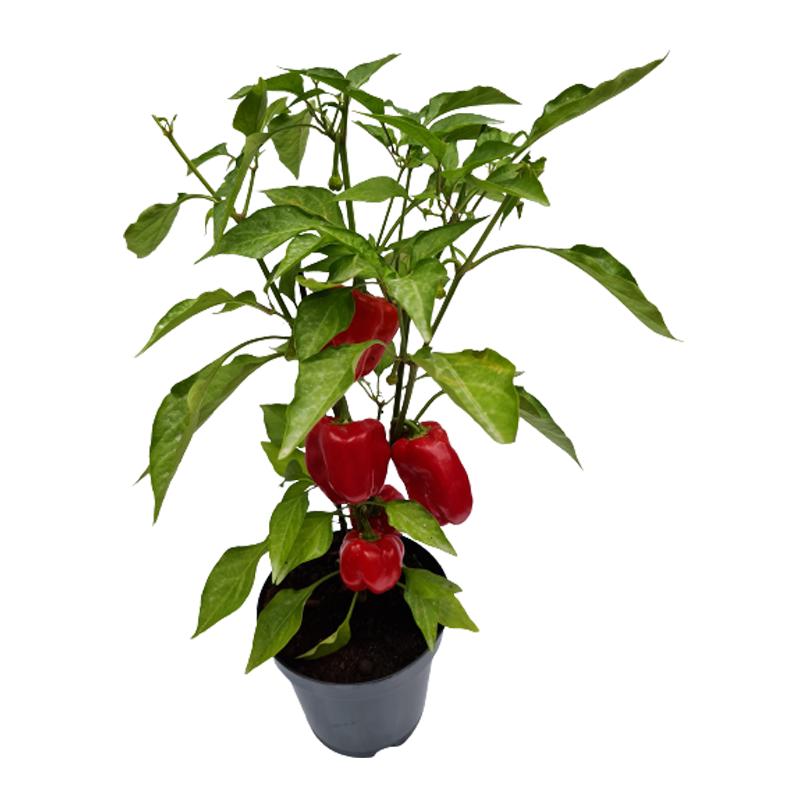 Pimentão Vermelho Orgânico pote 14 cm