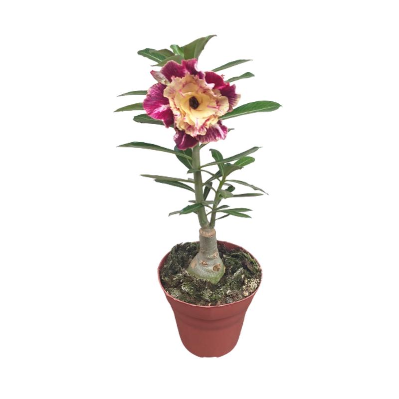 Rosa do Deserto Amarelo e Vinho pote 15 cm