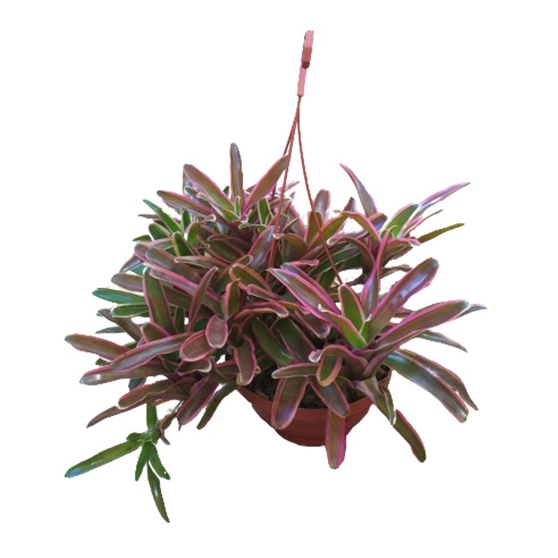 Bromélia Neoregelia Fireball Variegata cuia 21 cm