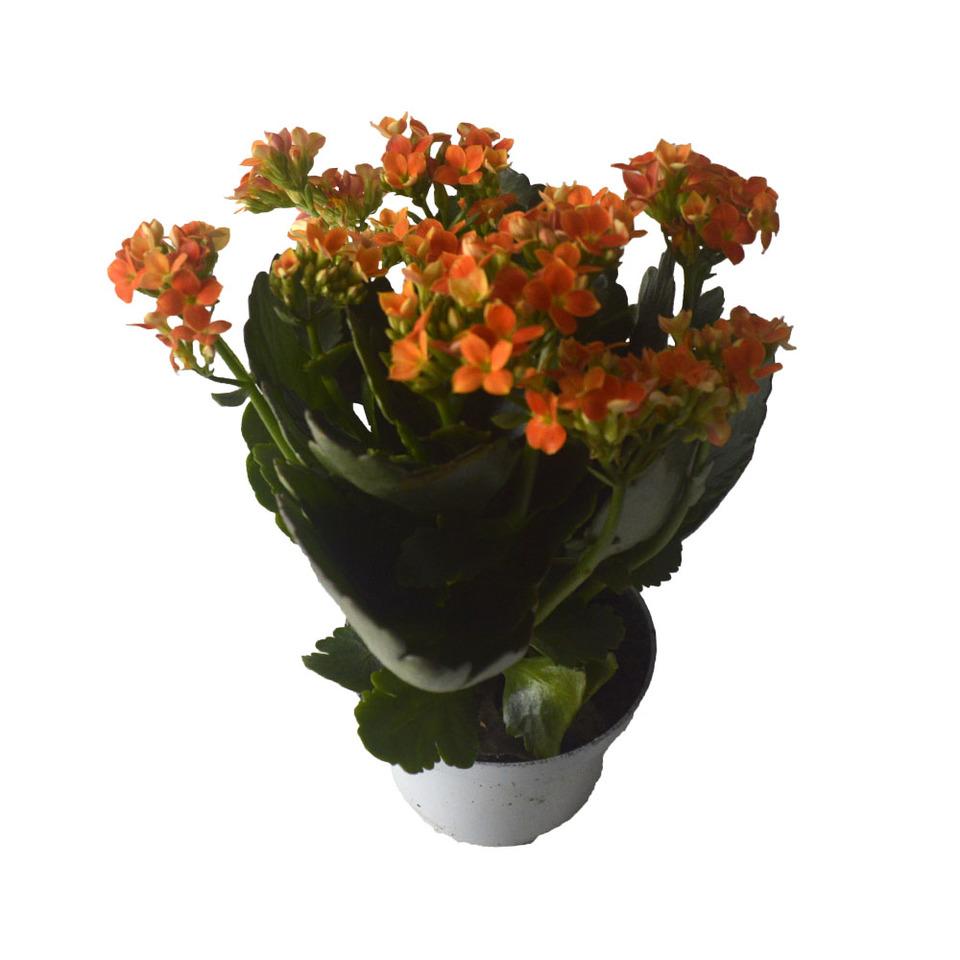 Flor da Fortuna - Kalanchoe <br> pote 11 cm