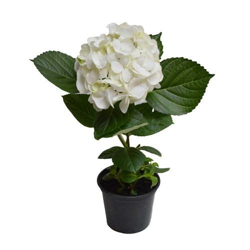 Hortênsia Branca <br> pote 14 cm