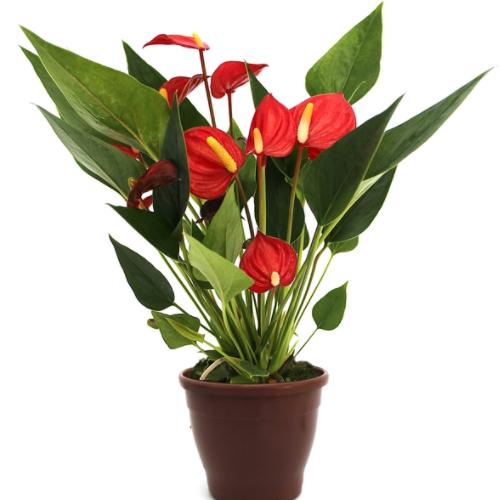 Anthurium Mini Million pote 09 vermelho