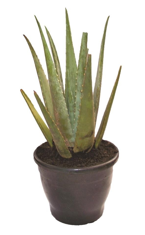 Aloe Vera (Babosa)<br>pote 24 cm