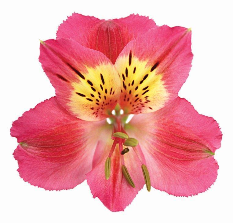 Alstroemeria Rosa Escura 70 cm <br> maço com 10 hastes