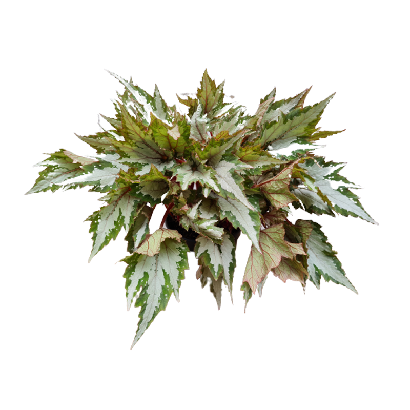 Begonia Sumatra Green pote 15 cm