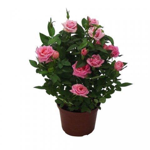 Mini Rosa<br>pote 13 cm
