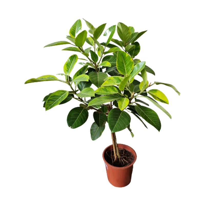Ficus Altíssima pote 30 cm