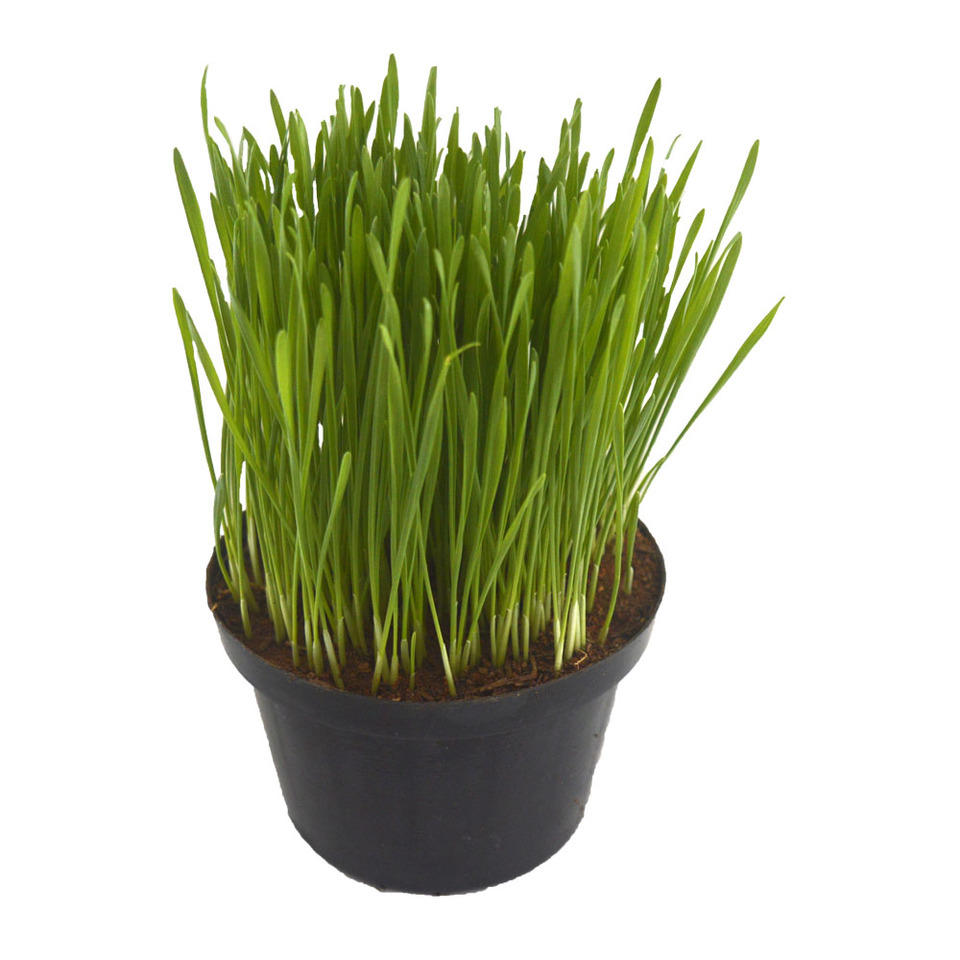 Clorofila- Wheat Grass<br>pote 11 cm
