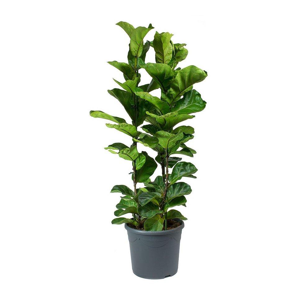 Ficus Lyrata Bambino<br>pote 24 cm