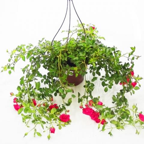 Roseira Pendente<br>cuia 20 cm