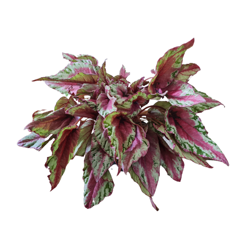 Begonia Maui Sunset pote 15 cm