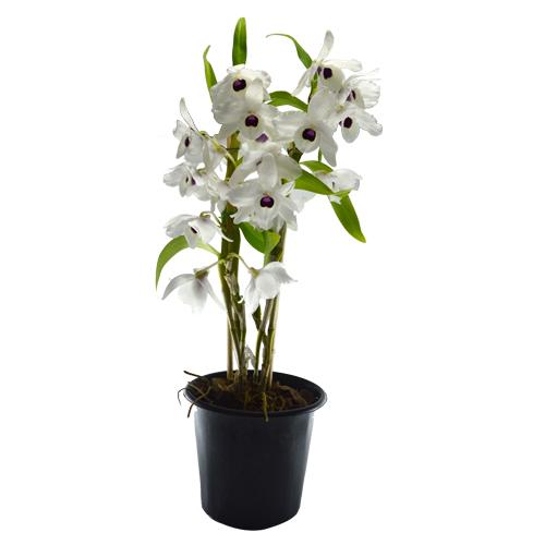 Orquídea Dendrobium pote 12 cm<br> Selecione a cor: