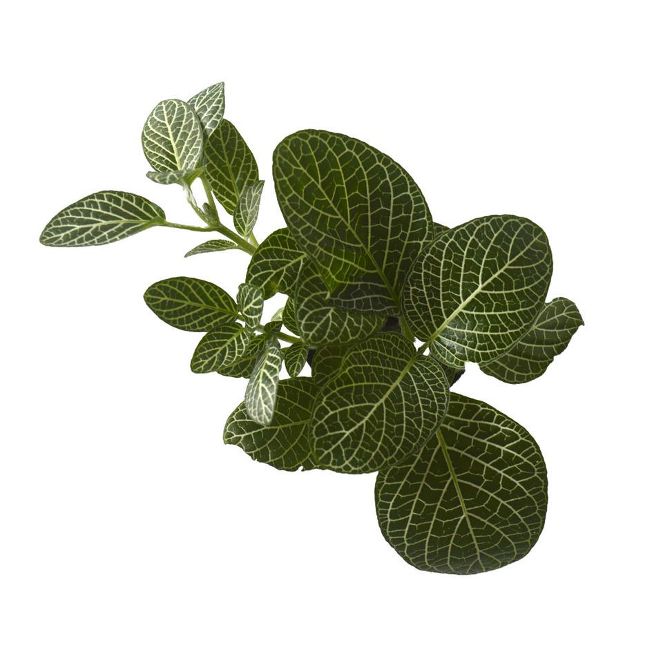 Fitônia- Planta Mosaico<br>pote 06 cm. Escolha a cor: