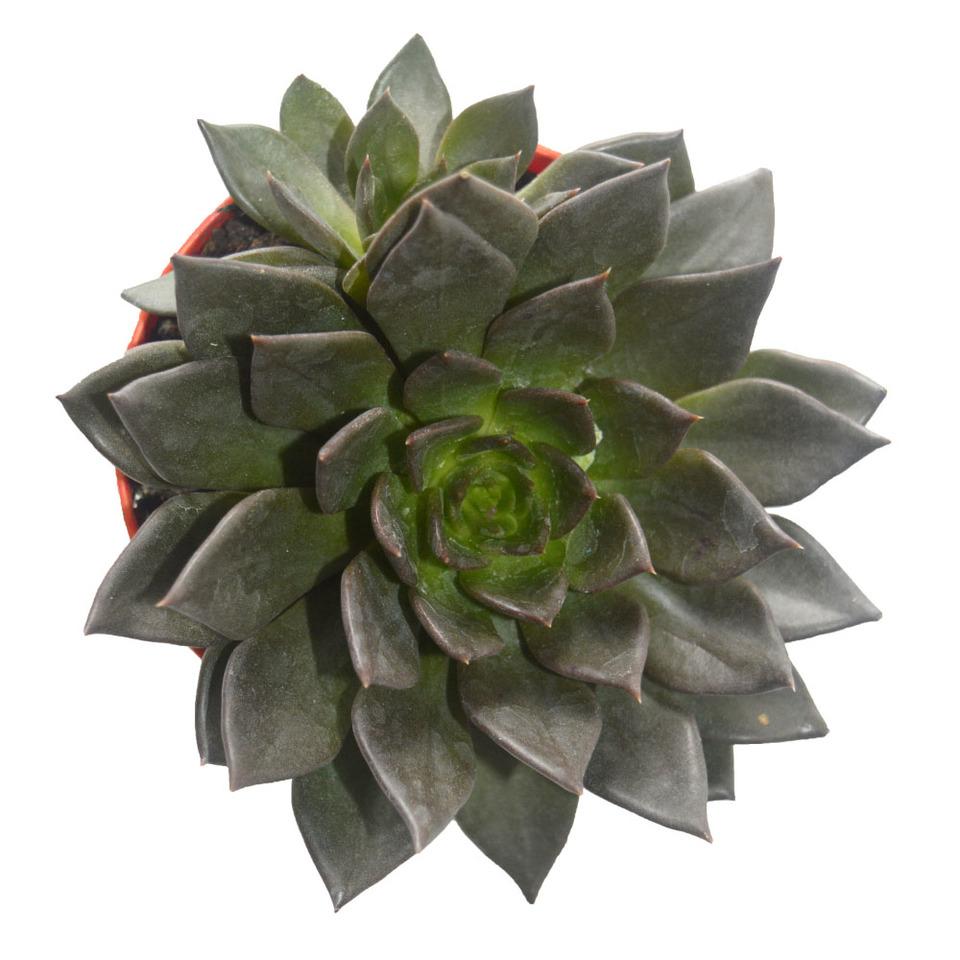 Suculenta Echeveria Black<br>pote 11 cm