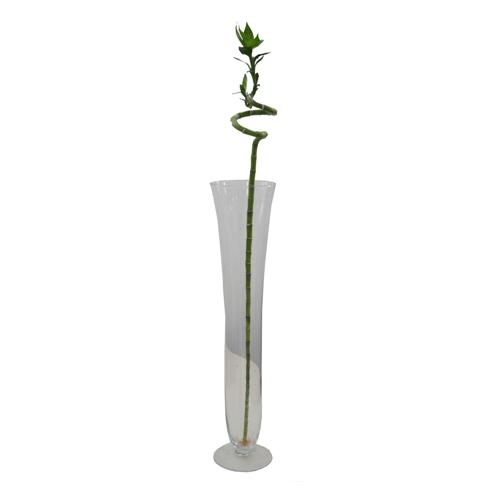 Lucky Bamboo Espiral 45 cm <br> vaso não incluso