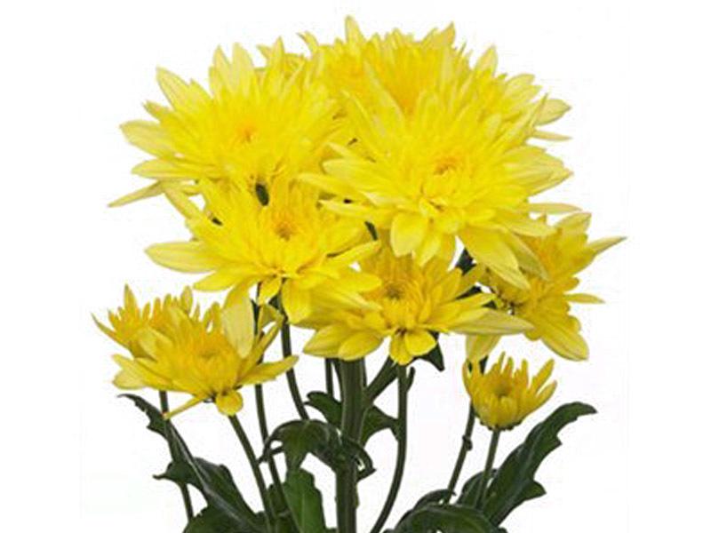 Crisântemo Polar Amarelo 70 cm<br>maço com 20 hastes