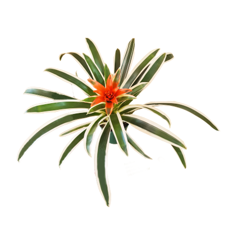 Bromélia Guzmania Lingulata Albomarginata pote 12 cm
