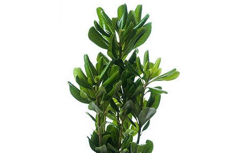 Pitosporo Verde em maço