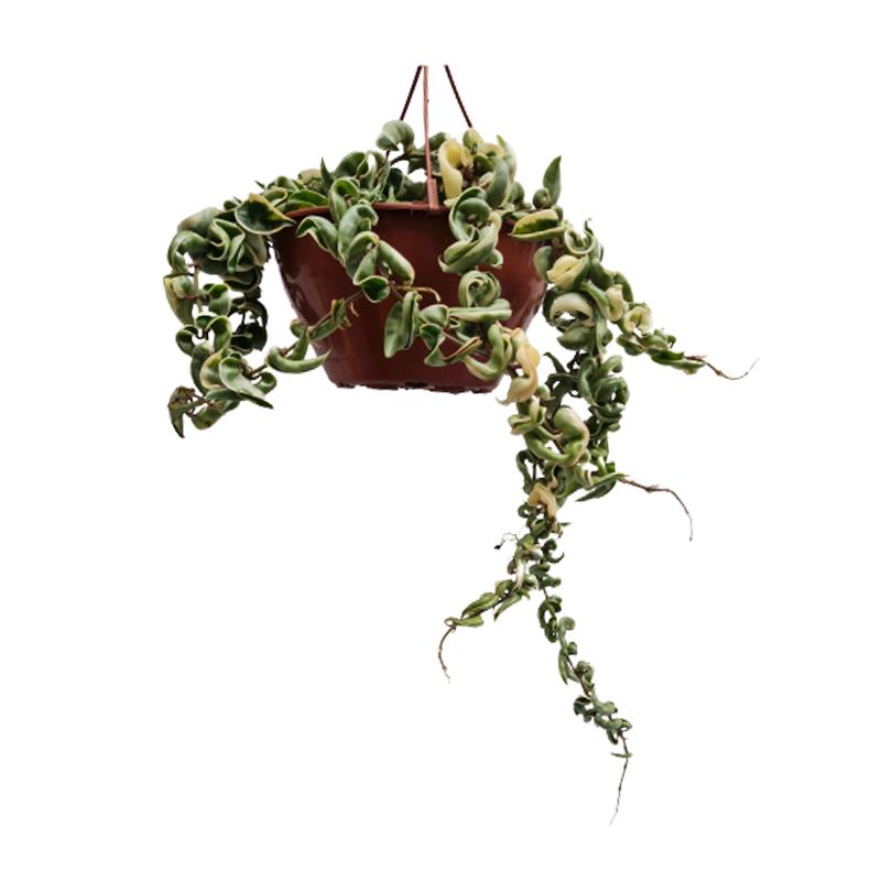 Hoya Carnosa Compacta Variegata cuia 21 cm