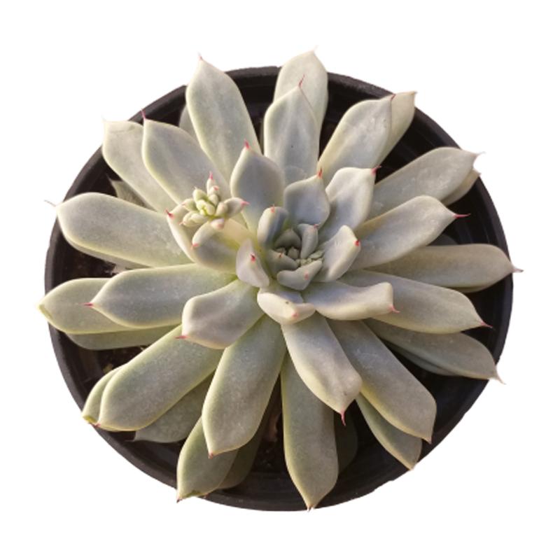 Suculenta Echeveria Cuspidata Gemula pote 11 cm