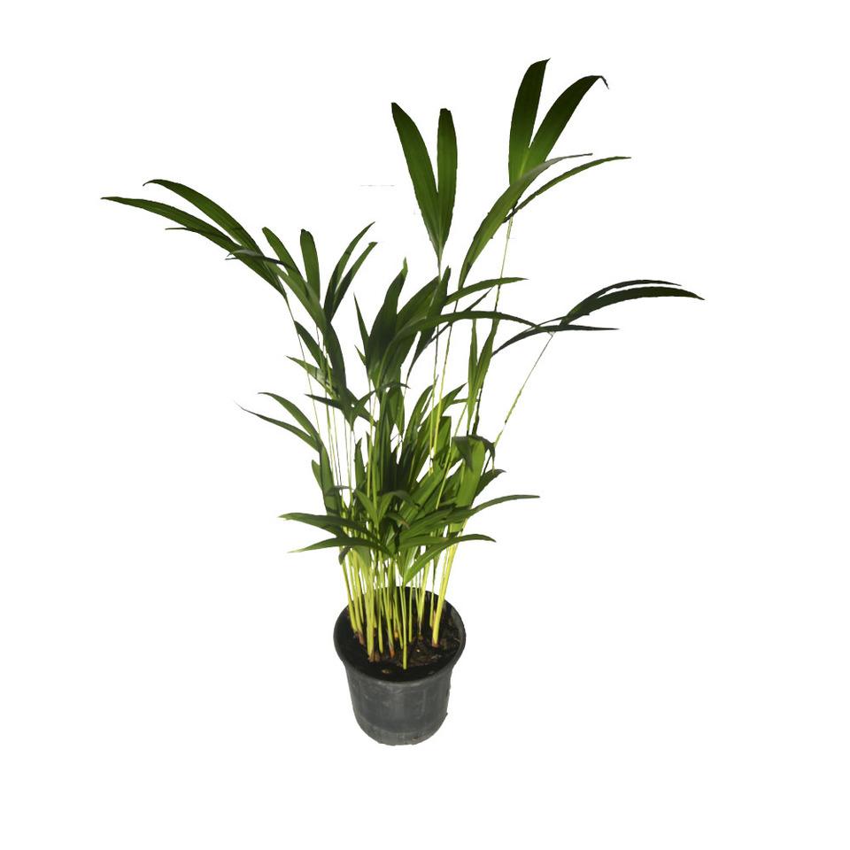 Palmeira Areca Bambu<br>pote 17 cm