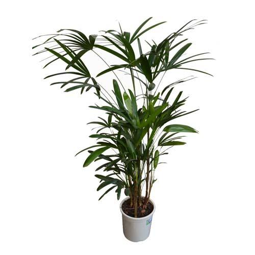 Palmeira Ráfis<br>pote 24 cm