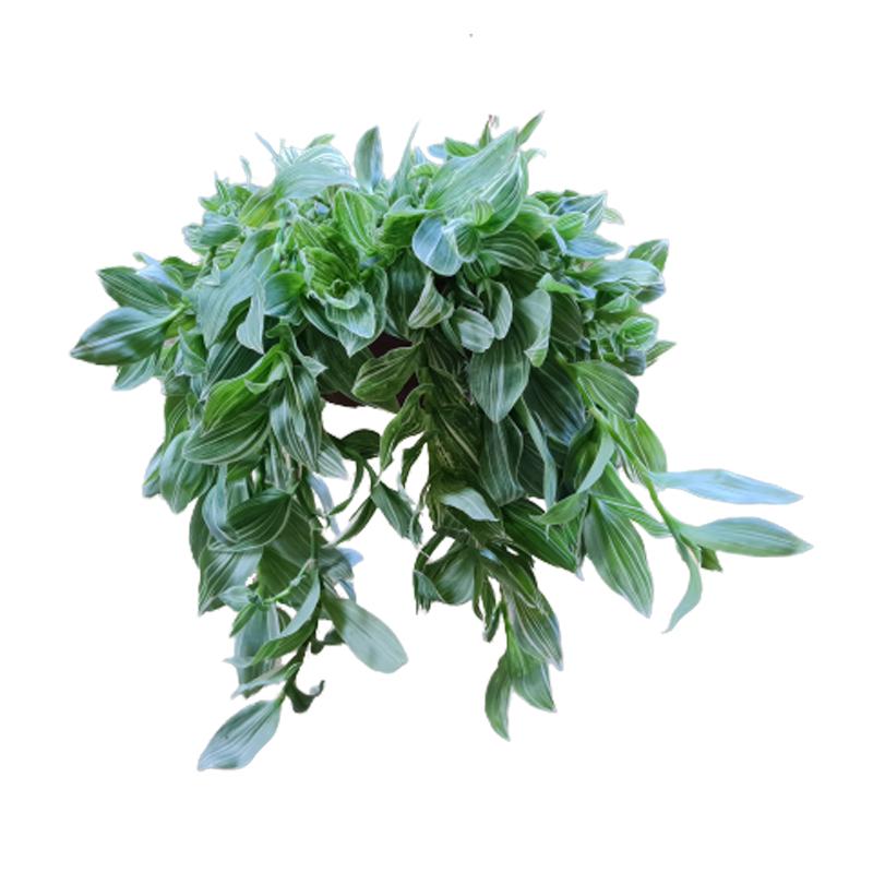 Tradescantia Fluminensis Variegata cuia 21 cm