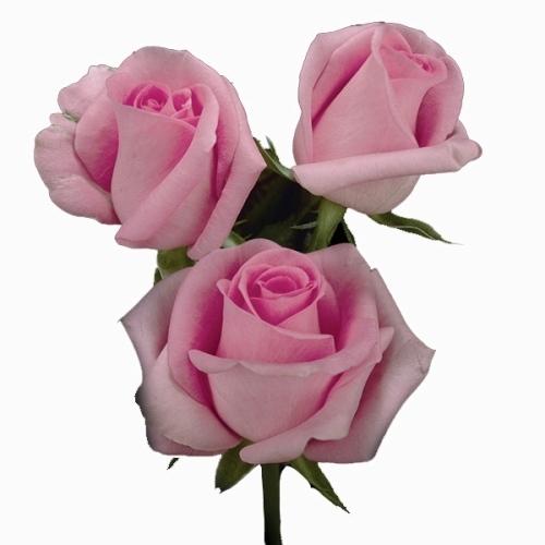 Rosa Revival 40 cm <br>maço com 18 hastes
