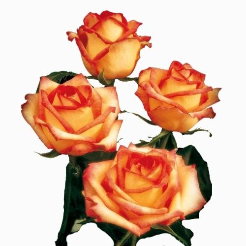 Rosa Ambiance 40 cm <br>maço com 18 hastes