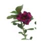 Rosa do Deserto Vinho pote 15 cm