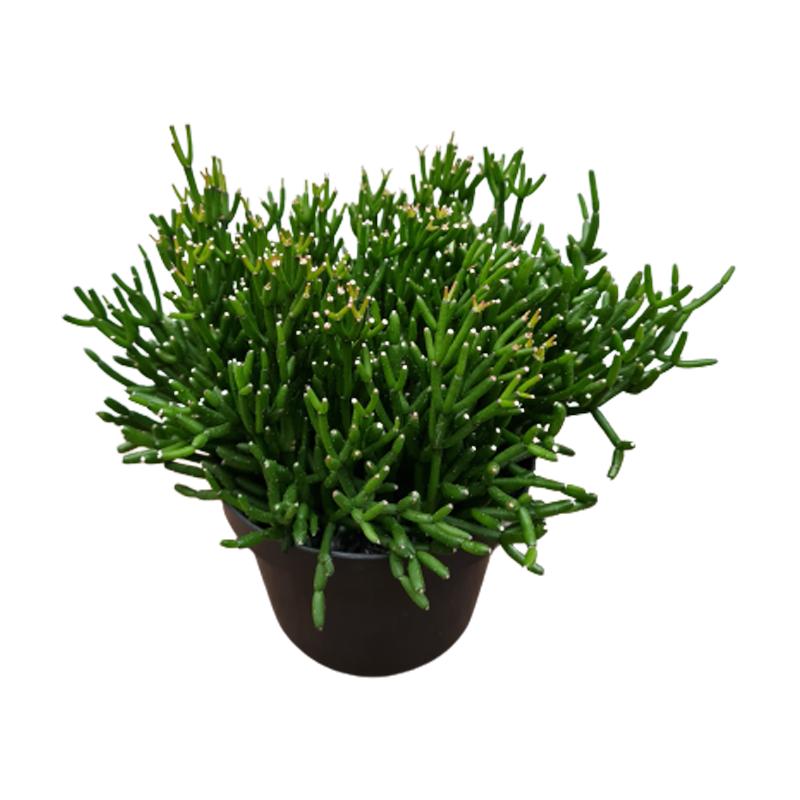 Rhipsalis pote 11 cm
