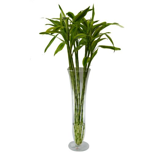 10 Hastes de Dracena Sanderiana Amarela- vaso não incluso