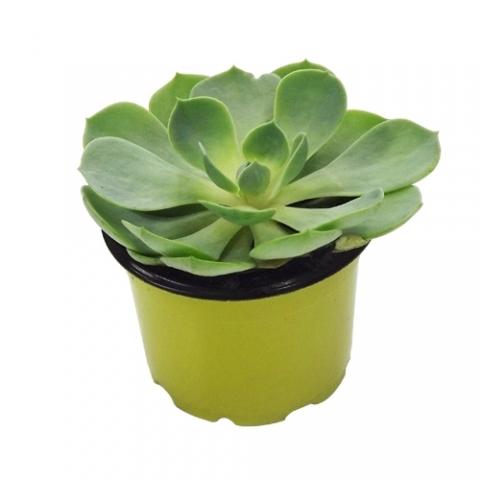 Suculenta Echeveria 02<br>pote 11 cm