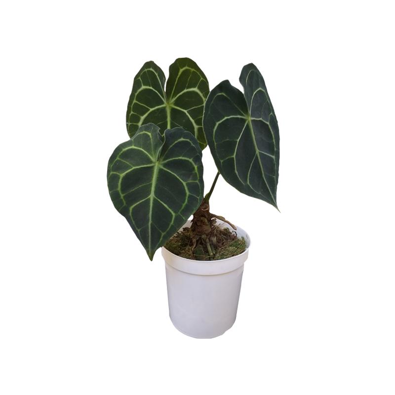 Anthurium Clarinervium pote 9 cm