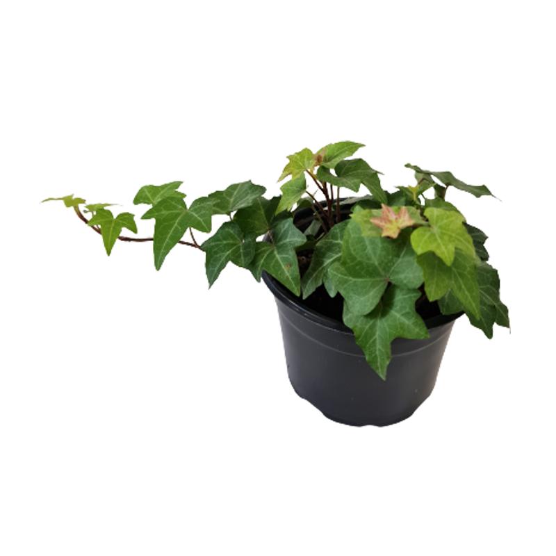 Hera verde pote 11 cm