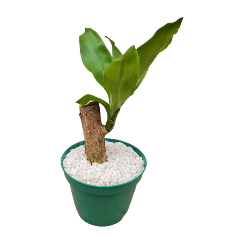 Mini Dracena Fragrans com tronco pote 12 cm