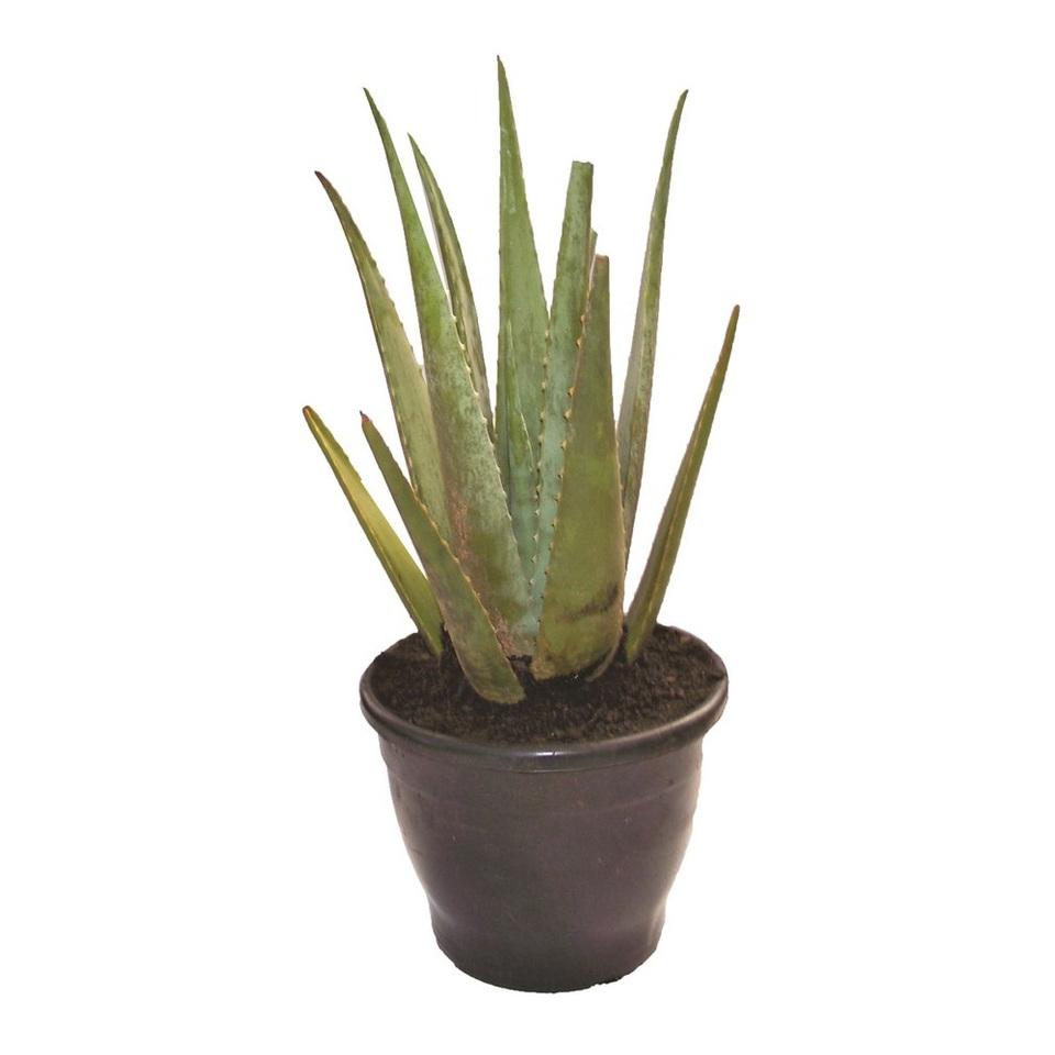 Aloe Vera (Babosa)<br>pote 17 cm