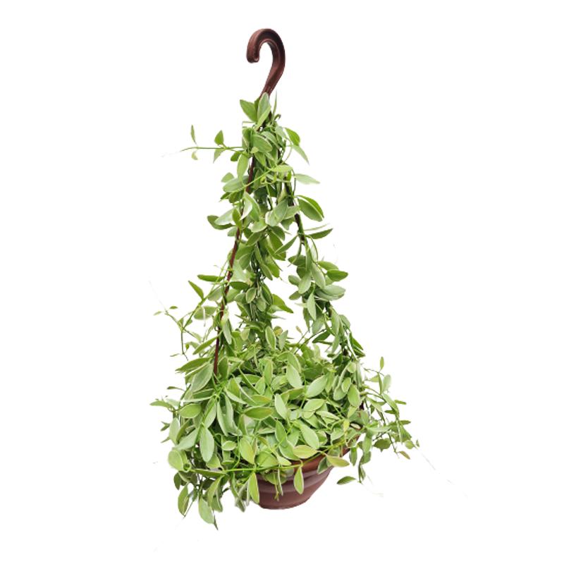 Dischidia Diantha variegata cuia 21 cm