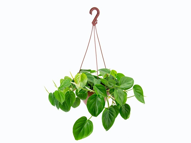 Filodendro verde cuia 21 cm