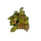 Kit 3 Fitônia - planta mosaico pote 6 cm