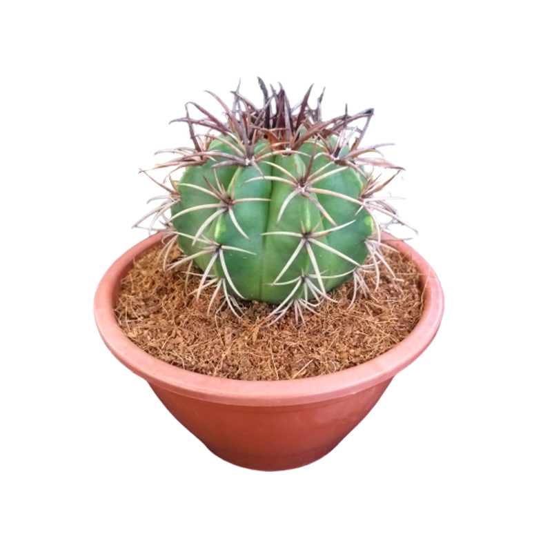 Cacto Coroa de Frade cuia 13 cm