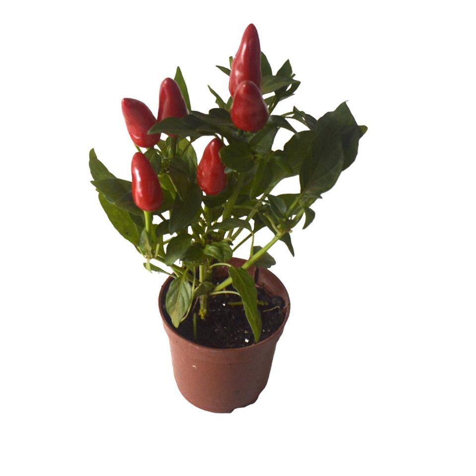 Pimenta Ornamental<br>pote 06 cm