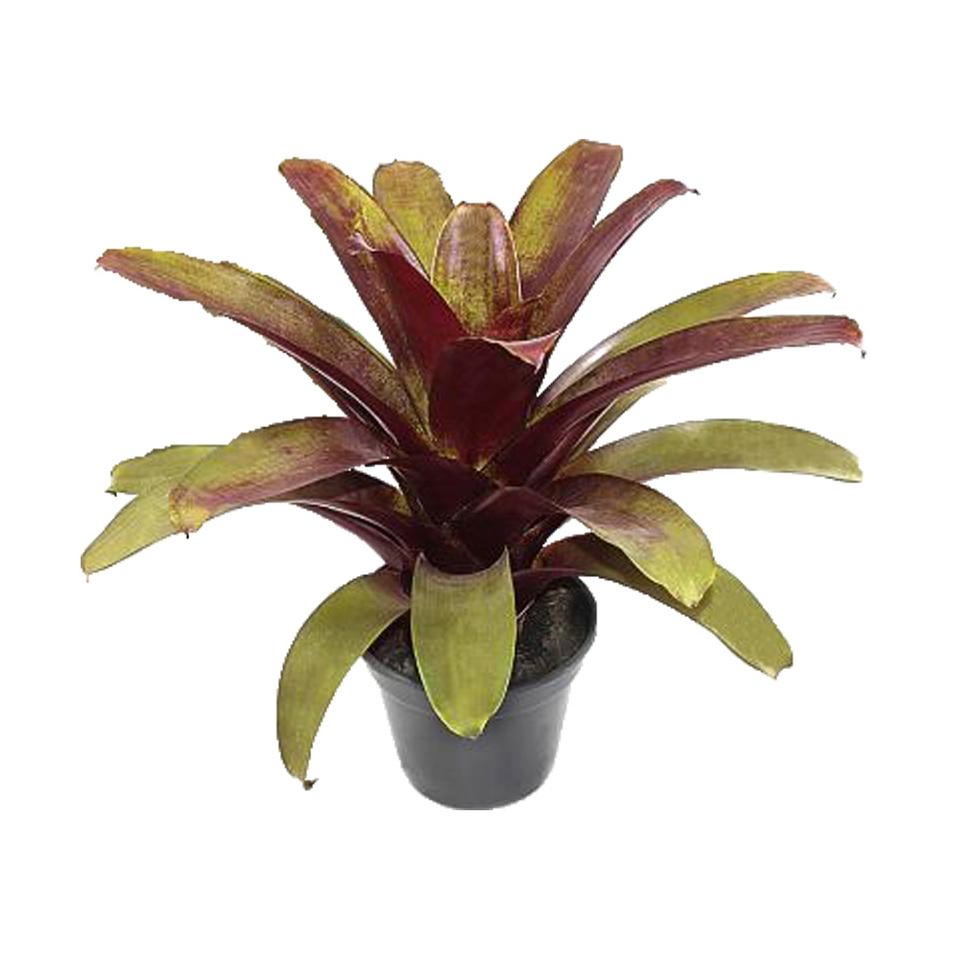 Bromélia Imperial Rubra<br>pote 27 cm